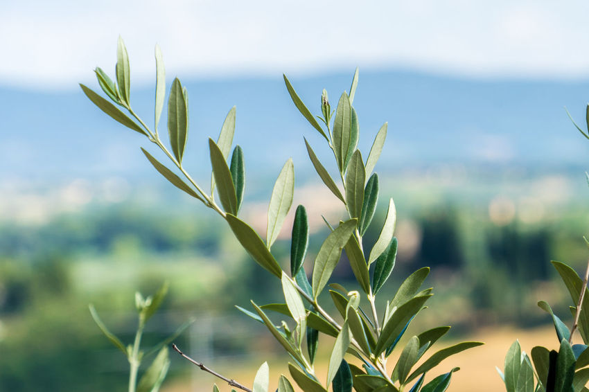 Nature Plants Summer Italy Tuscany Growth Plant Focus On Foreground Beauty In Nature Close-up Green Color Day Plant Part Leaf No People Tranquility Land Field Selective Focus Outdoors Agriculture Sky Scenics - Nature Sunlight