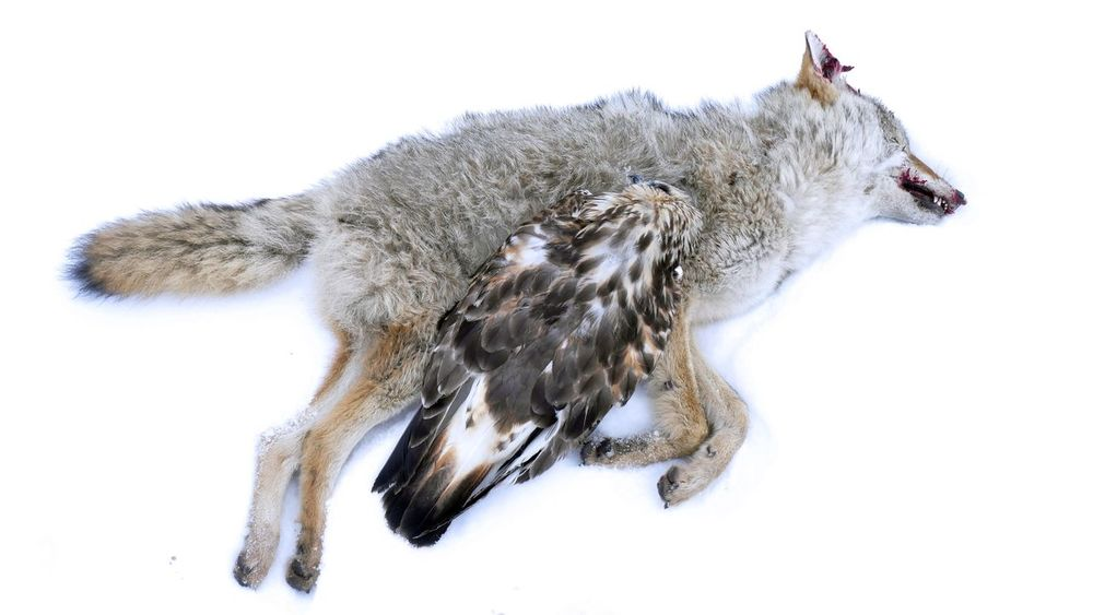 EyeEm Selects Traffic Victims. Animal Themes White Background Snow Unnatural Death Coyote Hawk Rigor R.I.P. Sadness Victims Predators Scavengers Just Like  Humans