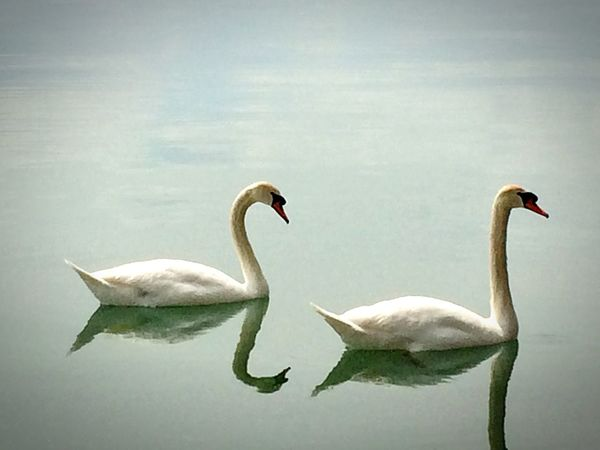 Lake Lake View Swans Nature Beautiful Animals