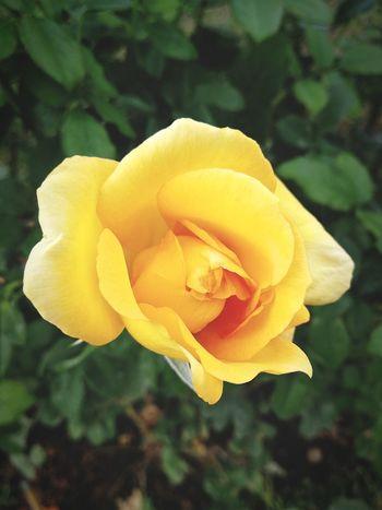 Flower Yellow Petal Flower Head Nature Plant Freshness Springtime Rose - Flower Preciuos Parfume Delicate Blossom