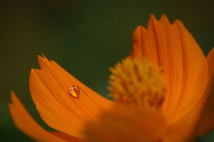 予感。 Nature Flower キバナコスモス Raindrops 雨粒 水滴
