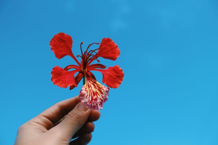 Close-up of hand holding red hibiscus against blue sky