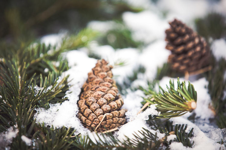 Pine cones on tree during winter