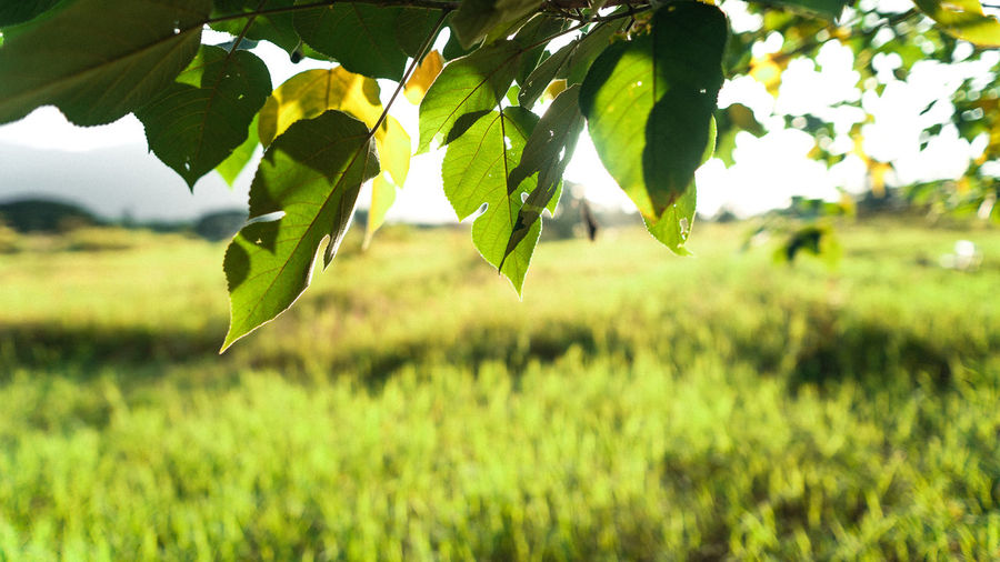 Close-up of fresh green leaves on field