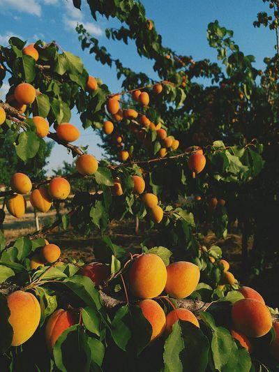 Tree Apricot Nature Organic Apricot Tree Apricot Color EyeEm Gallery Eyemphotography EyeEm Apricot Colour Flower Apricot Flowers Apricot Kernel Tofu Vitamin C Leaf