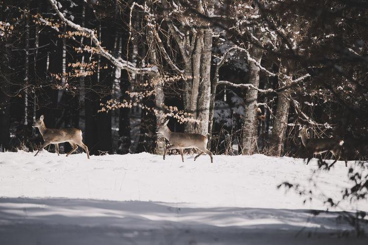 Deer Walking On Snow Covered Field Against Trees
