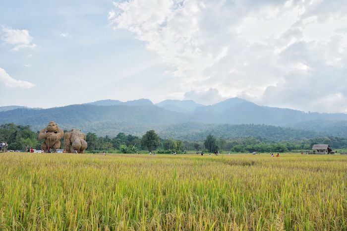 Rice Field Rampage  Chiang Mai | Thailand Field Landscape Plant Agriculture Land Environment Sky Cloud - Sky Scenics - Nature Mountain Farm Nature