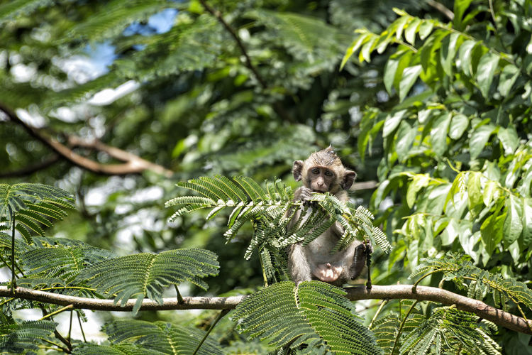 Long tailed macaque Plant Tree Leaf Green Color Nature Animals In The Wild Animal Wildlife Animal Themes Branch Animal Beauty In Nature Forest Long Tailed Macaque Crab Eating Macaque Monochrome Macaque Young Funny Cute Fauna Environment Biodiversity Beautiful ASIA Cambodia