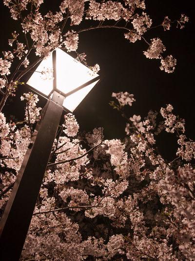 Springtime!! Spring Tokyo Sakura Yozakura