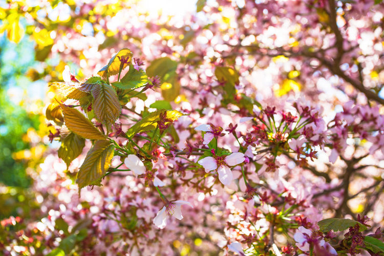 Cherry Cherry Blossoms Japanese  Nature Sakura Sakura Flowers Sunlight Background Background Flowers Blooming Closeup Closeup In Nature Floral Flowers Green Leaves Pink Flowers Sakura Bloom Sakura Blossom Sakura Tree Spring Summer Sunny Day Wallpaper Wallpaper Background