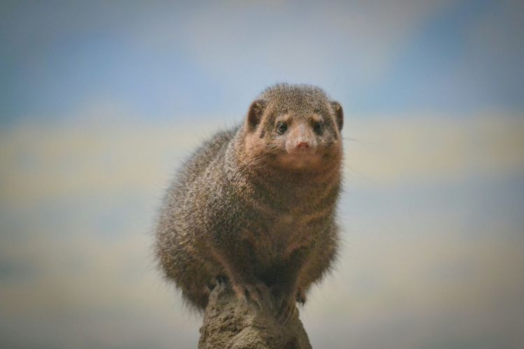 Close-Up Of Mongoose On Rock Against Sky