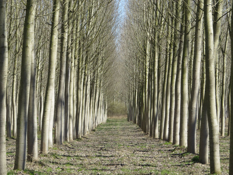 Beauty In Nature Diminishing Perspective Grove Of Trees Growth Lines Nature No People Outdoors Poplars Row Tranquil Scene Perspectives On Nature