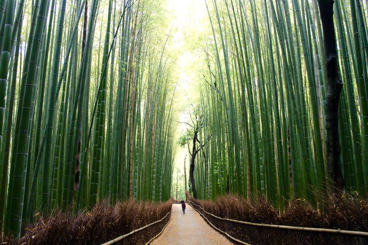 Arashimaya Arashiyama Arashiyama Bamboo Grove Arashiyamabambooforest Arashiyamabamboogrove Bamboo Bamboo Forest Bamboo Groves Initials Japan Japanese Culture Japanese Photography Love Moss Nature Outdoor Photography Outdoors Peace Peace And Quiet Serene Outdoors Serenity Toy Tree Truck