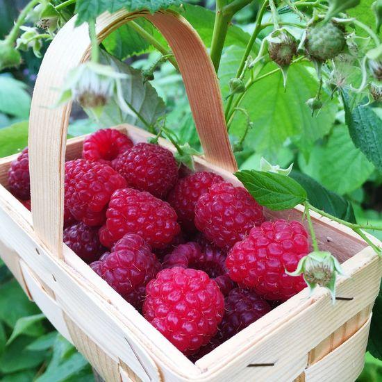 raspberries harvest garden Relaxing