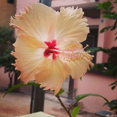 Home Flower Flowers Hibiscus Hibiscusflower Rosasensis Bodinayakanur Bodi Beautiful Loveit Takeapicture