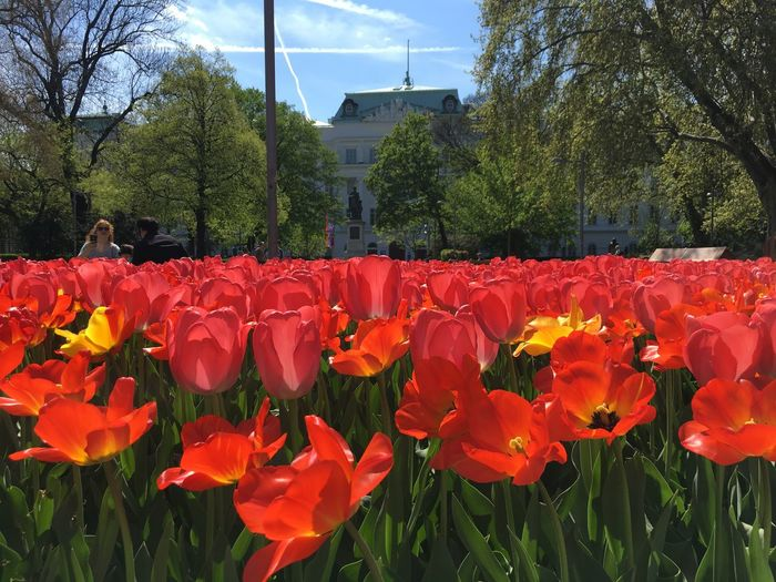 Spring Tulips in Vienna, Austria Bright Building City Field Flowers Nature Orange Red Spring Springtime Tulips Vibrant Color