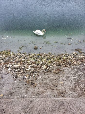 Swan lake EyeEm Nature Lover EyeEm Gallery Swan Water Sea Beach Land Day Nature Sand Bird Animal Outdoors Tranquility No People