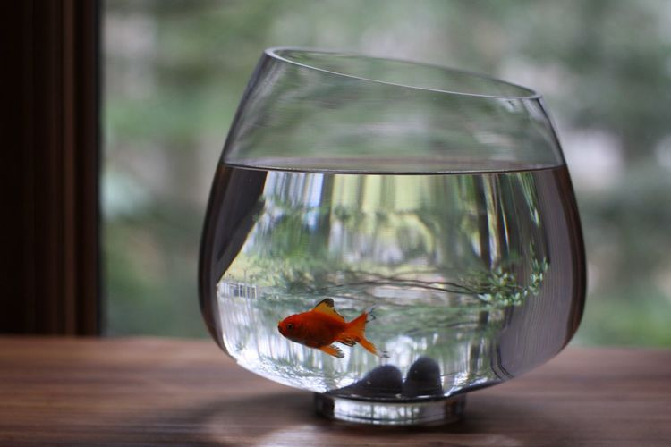 Goldfish in tank on table