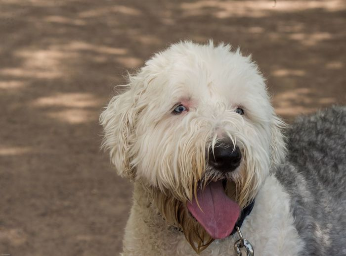 Big day at the park EyeEm Selects One Animal Animal Themes Animal Mammal Pets Domestic Dog Canine Domestic Animals Vertebrate Portrait Sticking Out Tongue Looking At Camera Protruding Animal Body Part Facial Expression Animal Hair Close-up No People Focus On Foreground