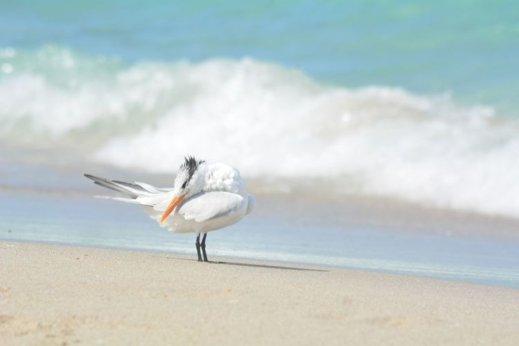 Thalasseus Maximus EyeEm Selects Beach Nature No People One Animal Bird Animal Themes Beauty In Nature Seagull Outdoors Wave Water Sea Animal Beauty In Nature Preening Birds Preening Shoreline Royal Tern Sea Bird Royal Terns Tern Seashore Full Length Close-up
