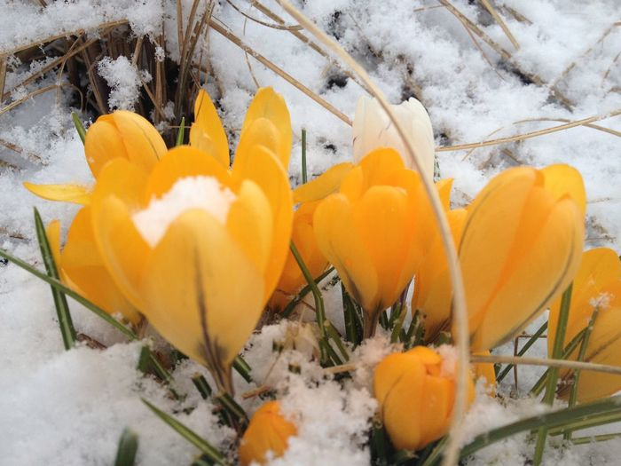 Close-up of yellow crocus flowers in snow