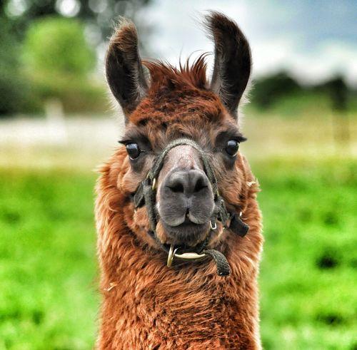 Lama Lamaphotography Passportphoto Say Cheese! Animal Domestic Life Happy Chappy Windsor Love Me Like You Do Cute EyeEm Best Shots Eye4photography  Looking At Camera Toronto Torontophotographer Canada
