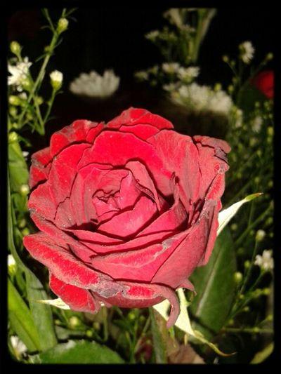 Eyeem Philippines Flowerporn local rose!