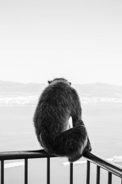A Barbary Macaques monkey looking over Gibraltar... Animal Animal Kingdom Animal Themes Animal Wildlife Animals In The Wild Barbary Macaques Black And White Gibraltar Gibraltar Landscape Gibraltar Macaques Gibraltar Monkey Gibraltar Monkeys Gibraltar Views Gibraltar Views Gibraltarview Macaques Monkeys Of Gibraltar Nature Travel Travel Destinations Travel Photography Traveling Travelling Travelphotography Wildlife