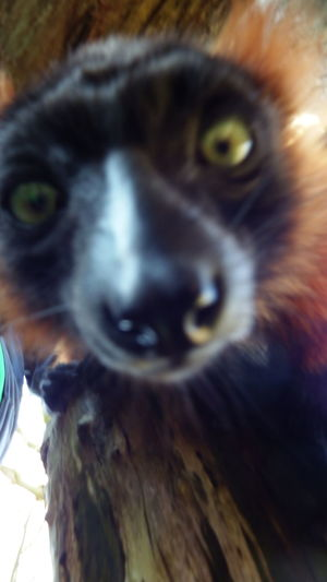It Is To Near 😁 EyeEm Nature Lover Photos who have shot my son Animals ZOOM Erlebniswelt Lemur Taking Photos Fujifilm Finepix SL1000 Light And Shadow 5cm Abstand 😂 Zutraulich .. Neugierig From My Point Of View Free Hand Nice Day Funy