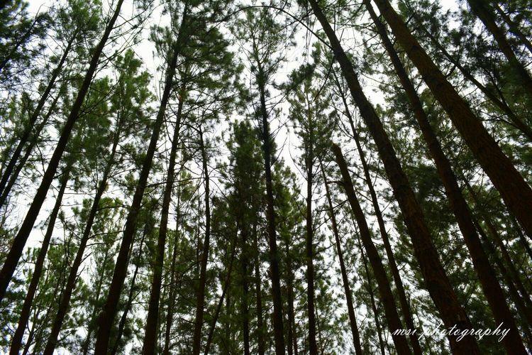Landscape Pine Trees Sky Nature