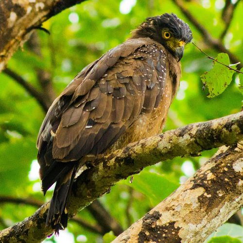 Poser. The Indian serpent eagle is one of the largest bird of prey in India and native to Indian Sub-Continent Bird Photography Birds_collection Birds_n_branches Birds Eye View Birdseyeview Nature_collection Nature Photography Nature Lover Nature Shooters Nature Makes Me Smile Bird Of Prey The Week On EyeEm
