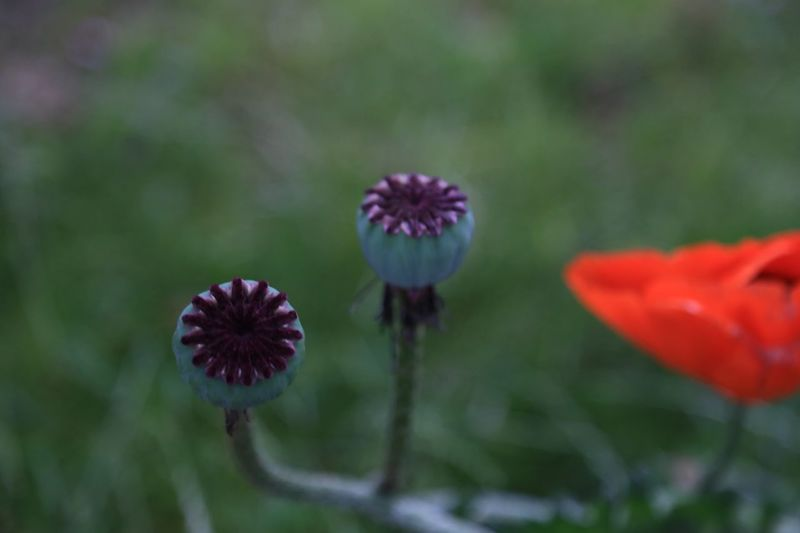 Beauty In Nature Blooming Close-up Comb Day Floral Flourish Flower Flower Head Fragility Freshness Growth Nature No People Outdoors Petal Plant Poppy Poppy Flower Poppy Flowers Poppy Seed PoppySeed Seed Seeds