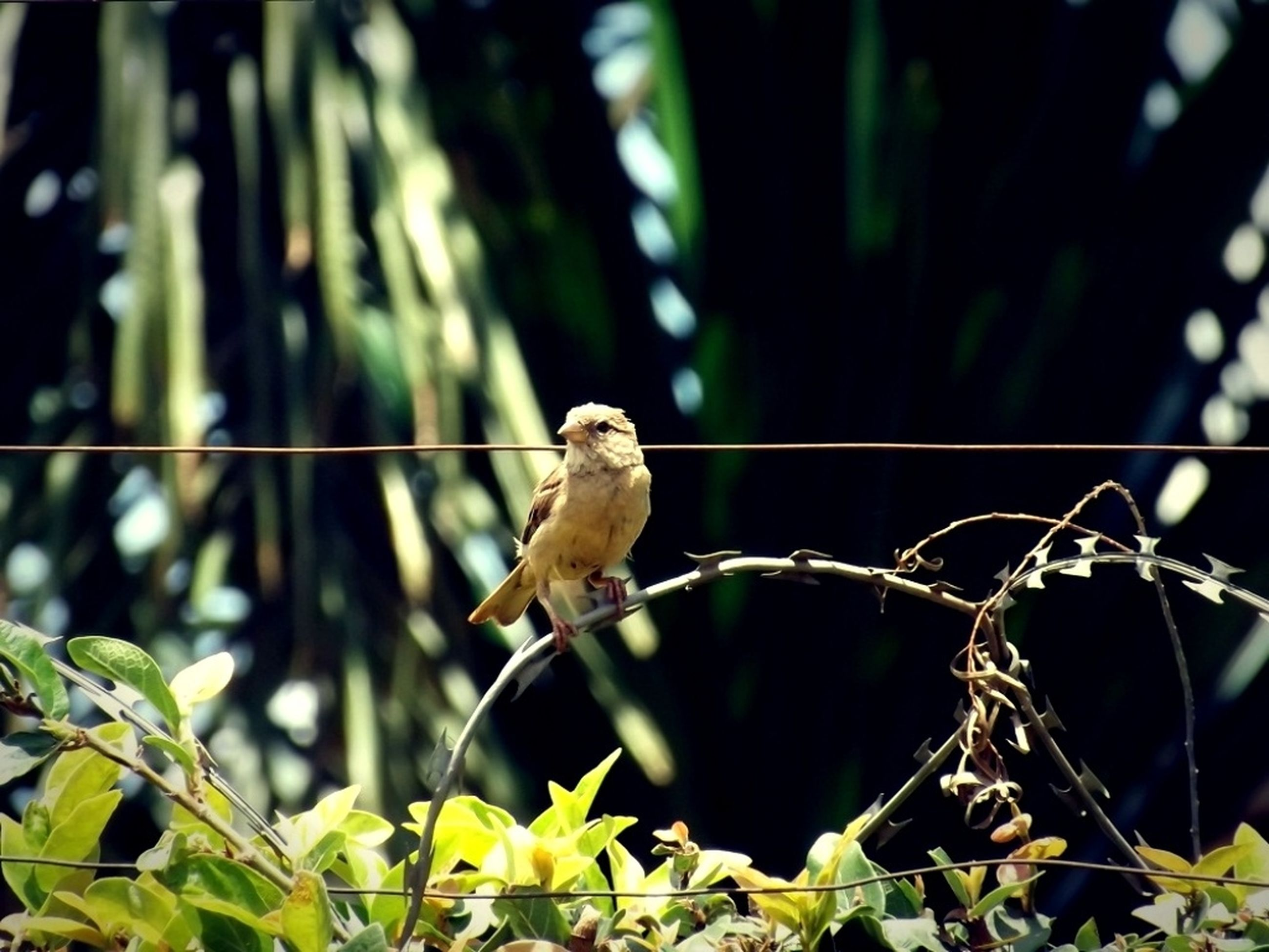 animal themes, animals in the wild, one animal, wildlife, perching, bird, focus on foreground, branch, nature, close-up, full length, outdoors, tree, day, green color, plant, no people, low angle view, sparrow, selective focus