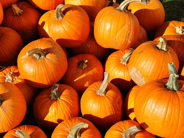 Pumpkins, Iowa Pumpkin Halloween Autumn Orange Color Vegetable No People Food And Drink Food Freshness Squash - Vegetable Abundance Agriculture Plant Gourd Day Pumpkin Seed Nature Outdoors Thanksgiving fall