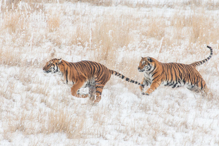 Tigers playing chase in winter at a wild life sanctuary
