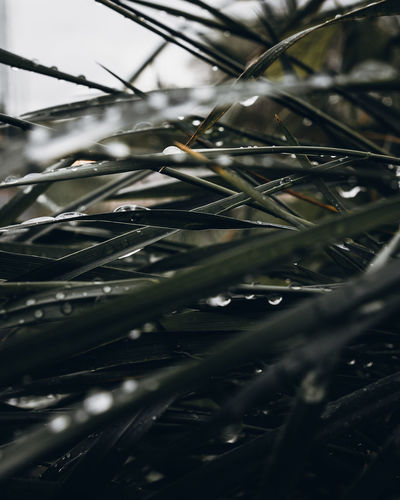 Plant Selective Focus Growth Close-up No People Nature Day Beauty In Nature Drop Tree Branch Wet Outdoors Focus On Foreground Full Frame Water Tranquility Green Color Needle - Plant Part Pine Tree Coniferous Tree RainDrop Blade Of Grass Dew Green Color Grass Nikon D7500 Mood Droplet Sharp Bokeh