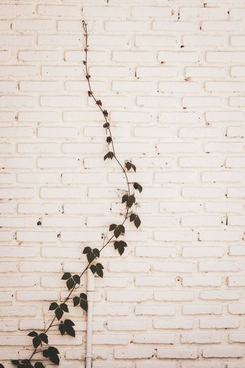 Ivy growing on white brick wall