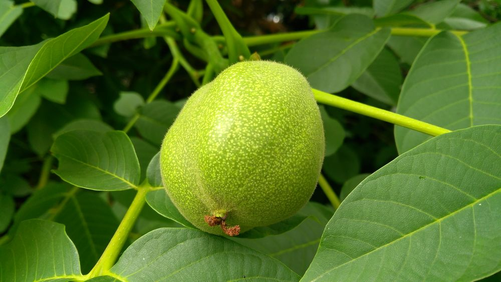 Walnut Wallnuss Walnuss Vine - Plant Food And Drink