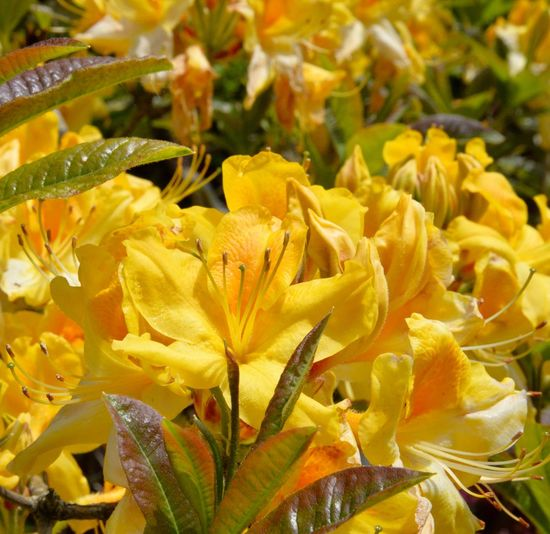 Sunshine in a plant Brilliant Colors Spring Garden Azalea Azaleas In Bloom Cornish Gardens Trelissick Gardens Close-up Yellow Plant Beauty In Nature Growth Close-up Freshness Flower Nature Full Frame Day Botany No People Petal Vulnerability  Fragility Flowering Plant