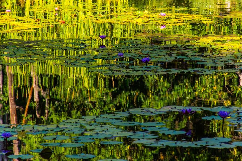 Water Lake Plant Reflection Nature Beauty In Nature Growth Flower Water Lily No People Tranquility Floating On Water Floating Standing Water Green Color Day