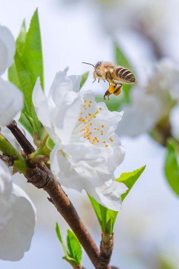 白い桃(関白)と蜂 Japan Photography OSAKA Japan Spring Peach Blossom White Color White Flower Flower Flower Head Leaf Insect Drink Full Length Living Organism Close-up Animal Themes Bee Honey Bee Fly