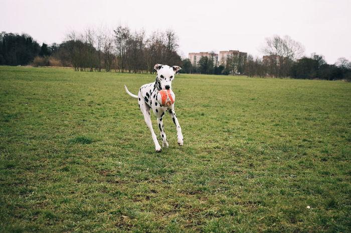 Vscgood Pets Of Eyeem Ukdogs Dalmatiansofinstagram Vscophile Dalmatians Capture The Moment Eyemphotography VSCO Vscogood EyeEm Best Shots Snowflakethedalmatian Petsofeyeem Vscopets Dogs Of EyeEm Vscocam Vscofilm Dalmatian Dog Dal Nikon Dogs