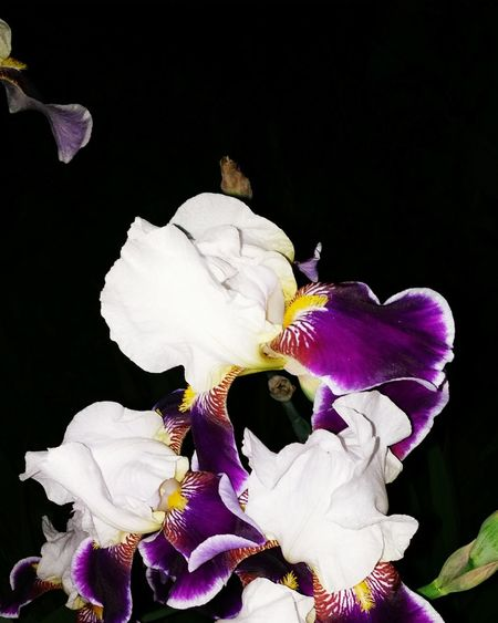 Black Background Flower Purple Beauty In Nature Flower Head Close-up Iris - Plant No People Nature Lightplay