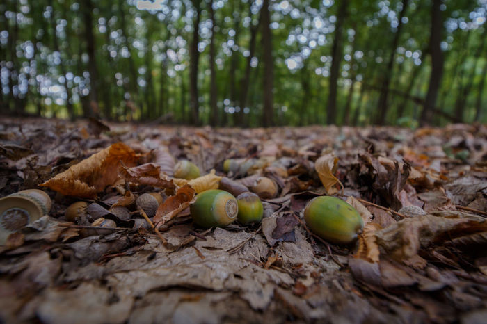 Forestwalk EyeEm Nature Lover EyeEmNewHere Acorn Close-up Day Field Food Food And Drink Forest Forest Photography Fruit Growth Healthy Eating Land Leaf Leaves Nature No People Outdoors Plant Plant Part Selective Focus Surface Level Tree WoodLand Be Brave