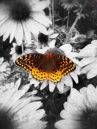 Great Spangled Fritillary Speyeria Cybele Tadaa Community Flower Insect Butterfly - Insect Animal Themes Petal Fragility Animals In The Wild Freshness Flower Head One Animal Pollen Nature Beauty In Nature Day Animal Wildlife Outdoors Butterfly No People Growth Pollination Snapseed Natural Beauty