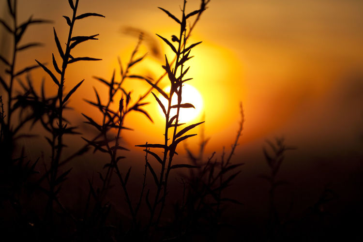 Sunrise silhouettes Beauty In Nature Close-up Corn Field Focus On Foreground Macro Macro Beauty Macro Photography Nature Nature Nature Photography Outdoors Plant Scenics Silhouette Silhouette Sunrise Sunrise Silhouette Sunset Sunset Silhouettes Sunsets Tranquil Scene Tranquility Weed
