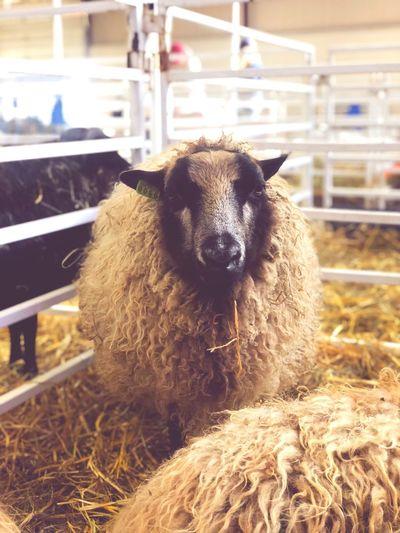 Animal Themes Domestic Animal Hay Livestock Sheep Farm Nature