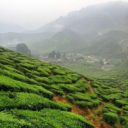 Goodmorning Cameronhighlands Happyweekend Tea Landscape Green Tea Plantation