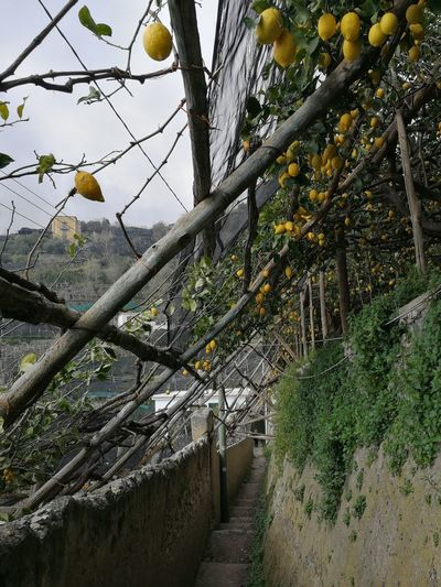 Amalfi Coast Barrier Fence Agriculture Tranquility Trunk Tree Trunk Built Structure Fruit Land Architecture Outdoors Day Sky Branch Beauty In Nature No People Nature Growth Tree Plant Path Of Lemons