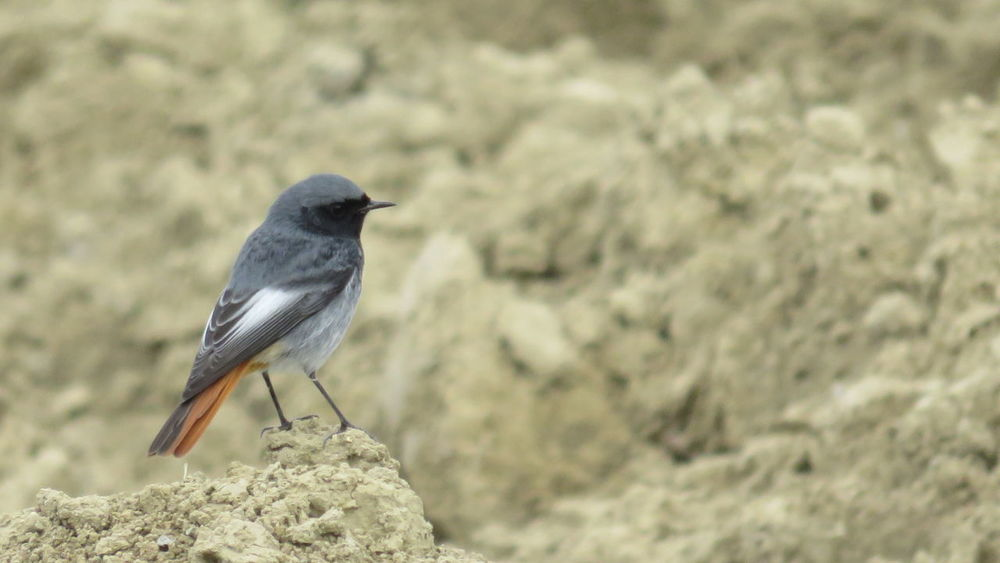 Animal Themes Animal Wildlife Animals In The Wild Bird Black Redstart Codirosso Spazzacamino Day Nature No People One Animal Outdoors Perching Phoenicurus Ocruros